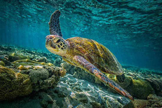 Turtle In Clear Water Australia